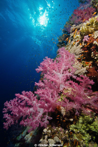 Typical corals in the Red Sea by Christian Schlamann 